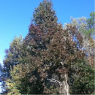 Tree (sweet gum)