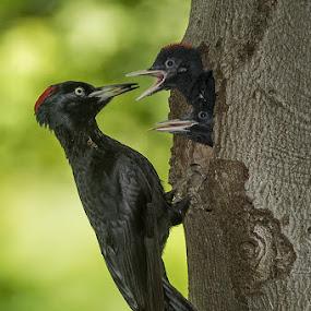 PICCHIO NERO by Rigotti Jacopo - Animals Birds
