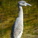 Yellow-crowned Night Heron-Immature