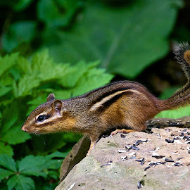 Chipmunk by Dan Ferrin - Animals Other Mammals ( nature, chipmunk, wildlife, mammal, animal )