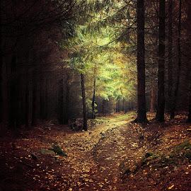 by Zsolt Zsigmond - Landscapes Forests ( autumn, green, dark, path, trees, forest, pine, light )