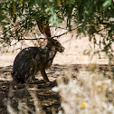 Black Tailed Jackrabbit