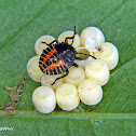Stink bug nymph and eggs