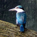 Collared Kingfisher, White-collared Kingfisher or Mangrove Kingfisher