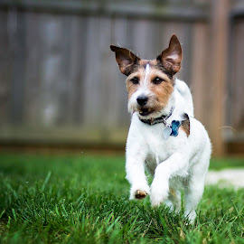 Run Boy Run! by Shawn Klawitter - Animals - Dogs Running ( jack russell, pet, running, animal,  )