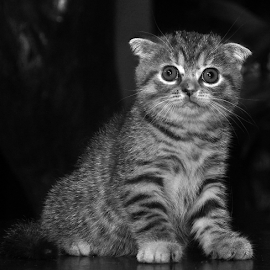 by Cacang Effendi - Black & White Animals ( cats, cattery, kitten, chandra, animal )