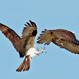 Territorial War by Mike Grosso - Animals Birds ( birds of prey, nature, canon photography, raptors, birds in flight, osprey )