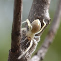 longlegged sac spider