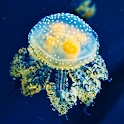 Jellyfish Live Wallpaper icon
