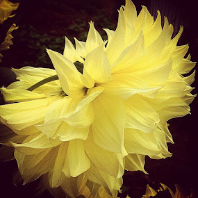 Yellow Beauty by Nancy Senchak - Instagram & Mobile iPhone