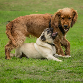 Ralph and Pugsi by Tracey Dolan - Animals - Dogs Playing