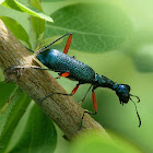 Elongated Tiger Beetle