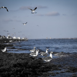 Beach Birds  by Andrew J Knepper - Landscapes Beaches ( contrast, dynamic, up close, nature, blue, seaweed, seagulls, ocean, birds,  )