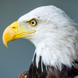 Aguila calva 9 by Eduardo Menendez Mejia - Animals Birds ( nikkor 55-200, eagle, zoo, aguila, calva, madrid, bald, menendez, eduardo, d5100, spain )