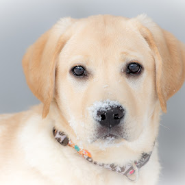 Snow by Beaver Tripp - Animals - Dogs Puppies ( mia, snow, puppy, lab )
