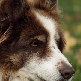 Jim by Deanna Ramsay - Animals - Dogs Portraits ( animals, border collie, dogs, head shot, pets )