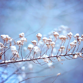 Snowy Branch by Julie Josey - Nature Up Close Other plants ( winter, nature, snow, dusk, new hampshire,  )