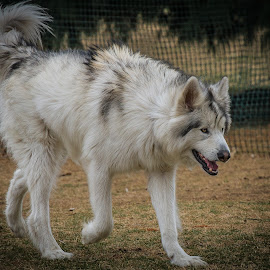 Malamute by Ron Meyers - Animals - Dogs Playing