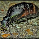 Oil Beetle (short-winged blister beetle)