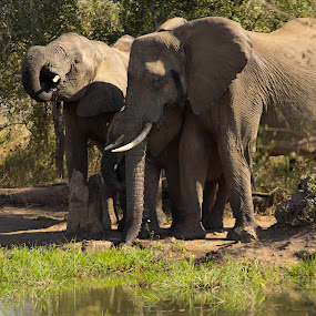 Elephants at the water hole by Malcolm Duke - Animals Other Mammals ( water, drinking, elephant, waterhole, animals horns images image contest unicorn ,  )