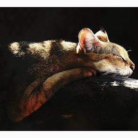Wild Cat. by HeartMonster Ankush - Animals - Cats Kittens ( cat, zoo, camer, sleepy, light )
