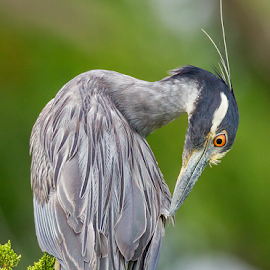 Yellow Crowned Night Heron by Herb Houghton - Animals Birds ( herbhoughton.com )