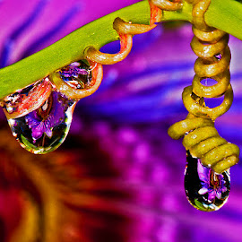 drops showing passion flower by David Winchester - Nature Up Close Other Natural Objects
