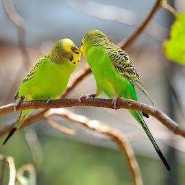Australian Budgerigar by RJ Photographics - Novices Only Wildlife (  )