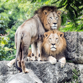 BROTHERS by Felix Collazo - Animals Lions, Tigers & Big Cats ( big cats, animals, nature, wildlife, lions,  )