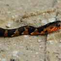 Banded Water Snake (young)
