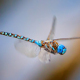 Dragonfly by Gary Davenport - Animals Insects & Spiders ( flying, blue, in-flight, dragon, dragonfly )