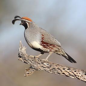 Quail posing  by Ruth Jolly - Animals Birds ( bird, nature, wildlife, quail, birds, animal )