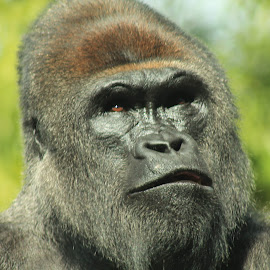 Confusion by Wendy Smith  - Animals Other Mammals ( confused, gorilla, portrait, mammal, closeup )