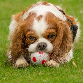 Harvey by Tracey Dolan - Animals - Dogs Playing (  )