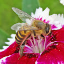 Asiatic honey bee