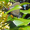 Great Purple Hairstreak (male)