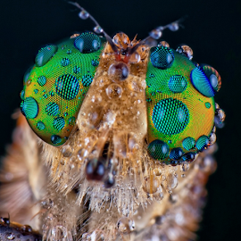 Colorfull Facet by Vincent Sinaga - Animals Insects & Spiders ( extreme, facet, colorfull, insect, robberfly )