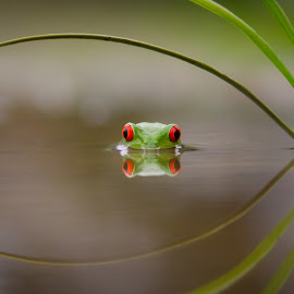 Beauty of Reflection by Kutub Macro-man - Animals Amphibians ( reflection, macro, nature, amphibians, close-up, animal )