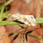 Small grass moth