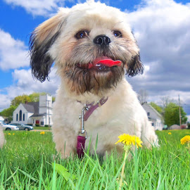 Summertime Play by Sandy Davis DePina - Animals - Dogs Playing ( clouds, blue sky, summer, shihtzu, puppy )
