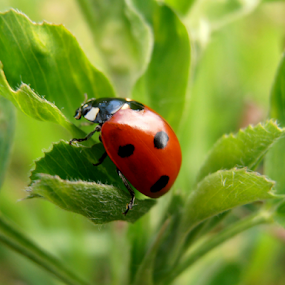 Ladybug by Snezana Petrovic - Animals Insects & Spiders ( spots, colorful, green, snezana petrovicred, leaves, insects, clover, spring, pure, macro, nature, horizontal, ladybug, black, fields, , red )