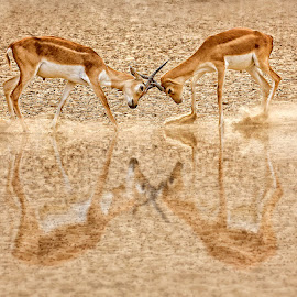 Rut Fighting by Nayyer Reza - Animals Other Mammals ( pakistan, animals, color, black bucks, rut fighting, nayyer, reza )