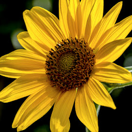 Sunflower shining  by Mukesh Chand Garg - Nature Up Close Gardens & Produce ( sunflower shining through, Hope )