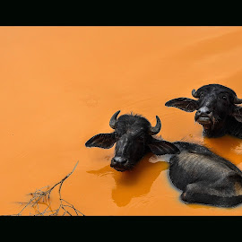 Beating the summer heat by Sooraj Joe - Animals Other Mammals
