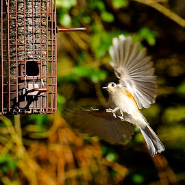 In Coming by Roy Walter - Animals Birds ( bird, flight, wings, nut hatch, feeder, animal )