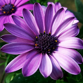 by Dipali S - Instagram & Mobile Android ( nature, purple, flora, daisy, flower )