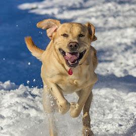 joy by Giovanni De Bellis - Animals - Dogs Running ( snow, gastone, labrador, dog, running )
