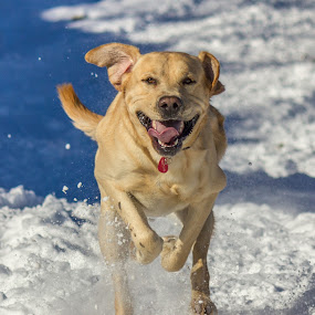 joy by Giovanni De Bellis - Animals - Dogs Running ( snow, gastone, labrador, dog, running )