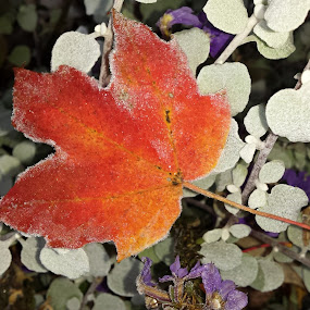 Frozen by Christine Weaver-Cimala - Nature Up Close Leaves & Grasses ( nature, color, fall, frost, leaf, frozen )