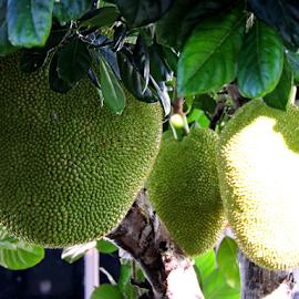 Jackfruits by Yusop Sulaiman - Nature Up Close Gardens & Produce